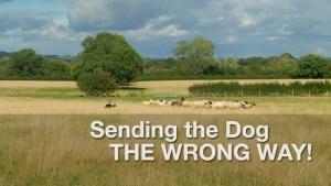 the best sheepdog training tutorial video