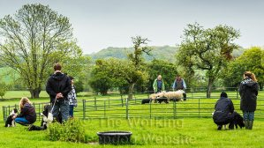 A sheepdog being trained to work sheep in a group training session.