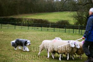 Working Bearded Collie Sheepdog at work