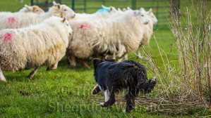 Trainee sheepdog Dash looking confident as she chases after the sheep
