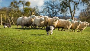 Young puppy looking back as it runs away from oncoming sheep