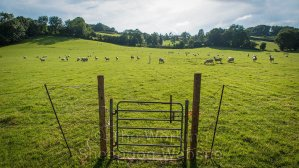 sheep grazing a field before the sheepdog trial begins