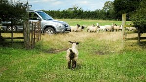 Lamb with a mucky rear end