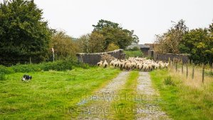 sheepdog Carew guides her sheep over the railway bridge during today's gather