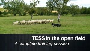 FREE herding dog training video
