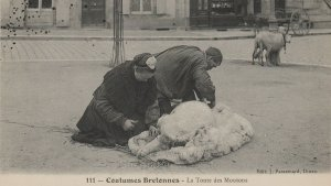 Breton couple shearing a sheep in the street