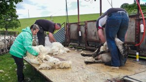 Two men shearing and a young woman wrapping the fleeces