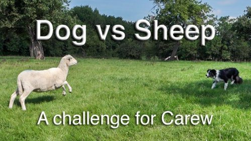 Sheep herding video - Carew being threatened by a stubborn sheep