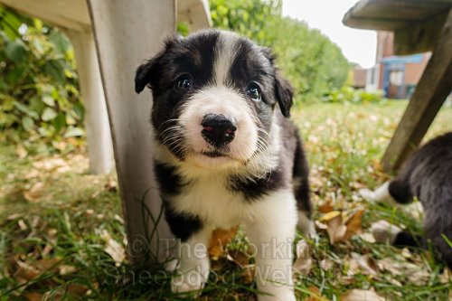 Lovely black and white collie pup