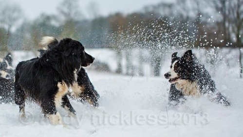Two sheepdogs playing in the snow
