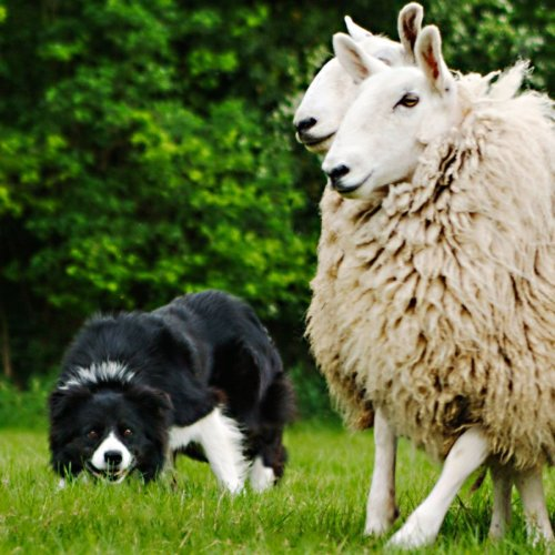 Novice sheepdog trials champion Glen at work with sheep