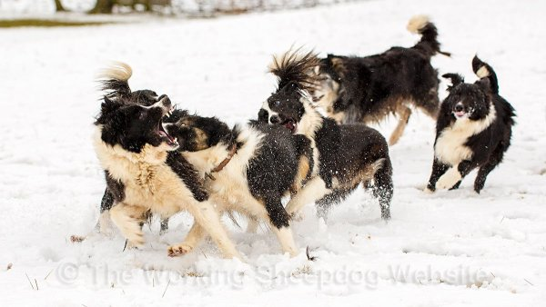 Border Collie sheepdogs squabbling with snow flying around!