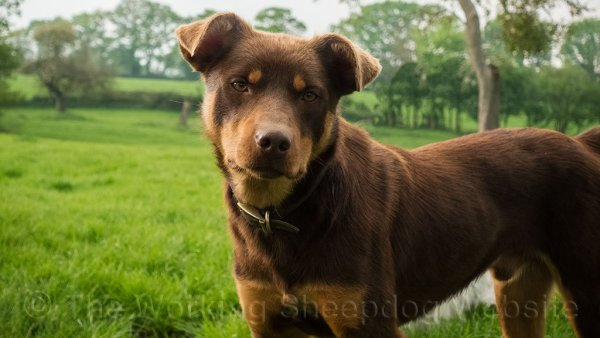 Will is a very handsome young Kelpie sheep herding dog