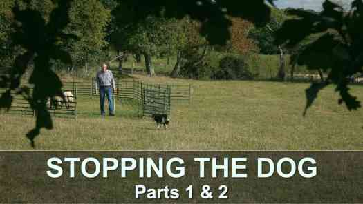Thumbnail image for our Stopping the Dog tutorials video. The sheep are in the training ring, and Andy is walking towards sheepdog Dulcie.