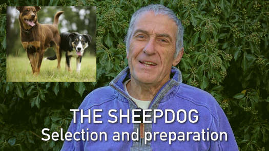 Thumbnail image for the sheep and cattle dog training tutorial: Sheepdog Selection and Preparation