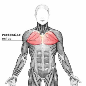 Pectoralis chest muscle