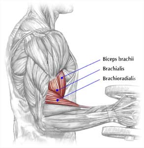 Arm Muscles Biceps Triceps Brachioradialis