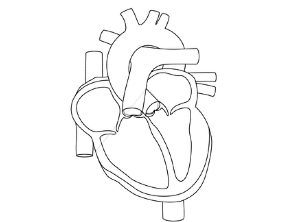 18 Best Images Of Heart Anatomy Blood Flow Worksheet