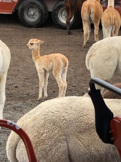 Alpaca baby at the Agrodome