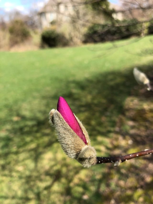 Life in the Time of Coronavirus: A magnolia bloom starts to open