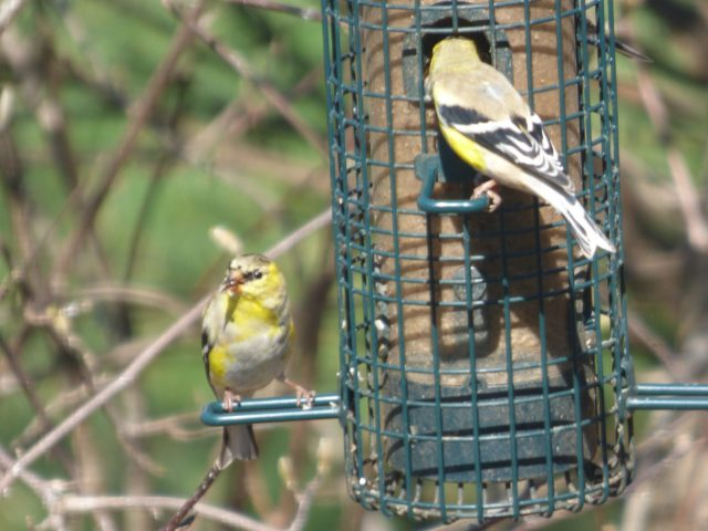 Traveling your backyard:  A male goldfinch begins to molt into summer colors