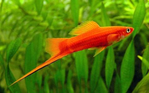Меченосец (Xiphophorus hellerii)