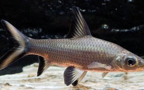 аквариумная рыбка акулий балу фото