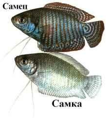 лялиусы рыбки фото самца и самки