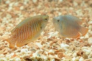 лялиусы рыбки фото