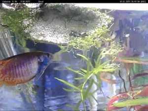 лялиусы рыбки фото размножения