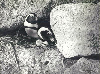 African Brooding penquins, Dassen Island, Cape Colony.