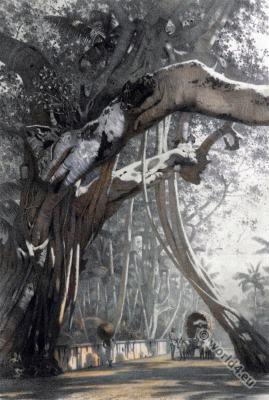 Banyan tree. Colombo. Sri Lanka. banyans. Landscape. Illustration