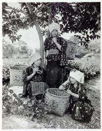 Tea, picking, Uji, Kyoto, historical, historic, Japan, costume, Kazuma Ogawa, Photographer,