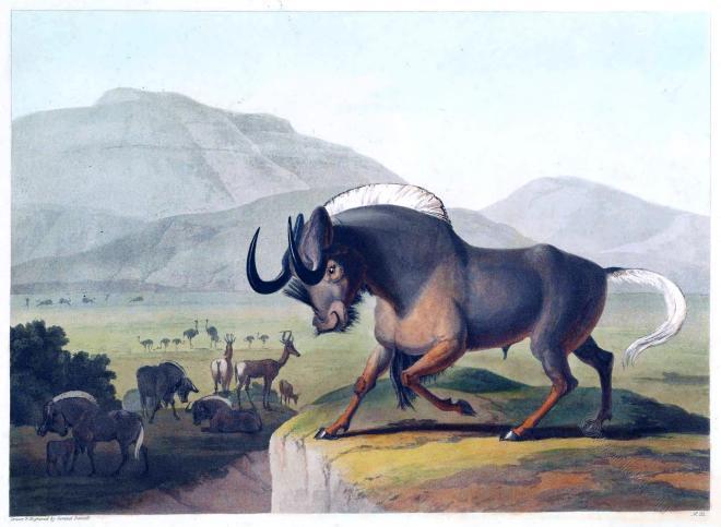 Samuel Daniell, Wildebeest, Gnu. frican antelope, Africa, Gnoo,