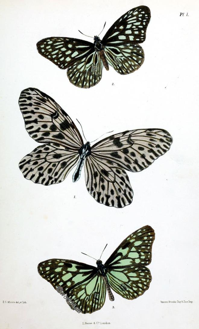 butterfly, Nectaria Jasonia, Floater, Spectre, Silver-paper, Fly