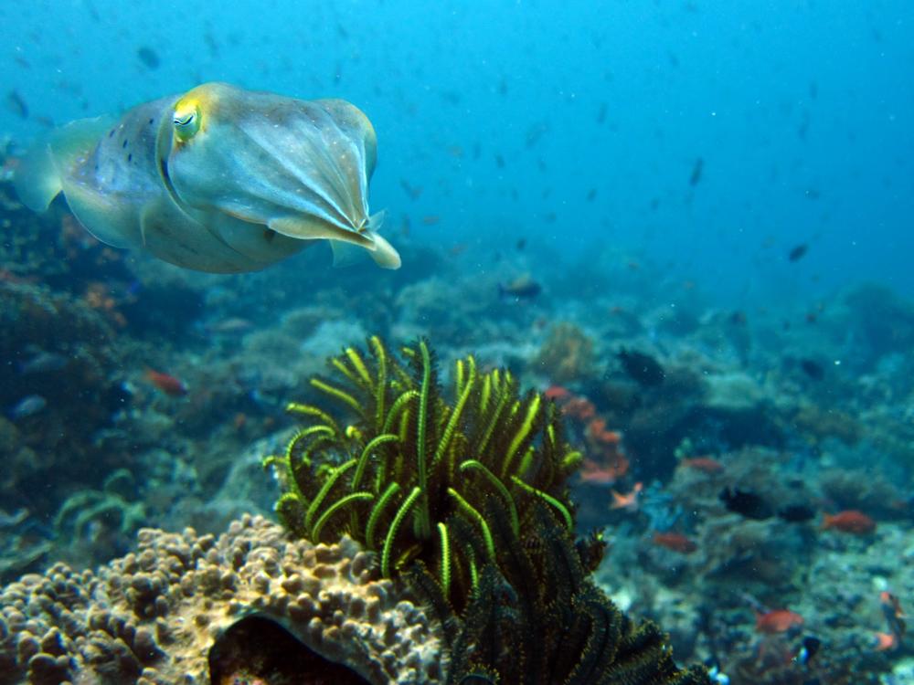 Cuttlefish diving in Komodo Indonesia