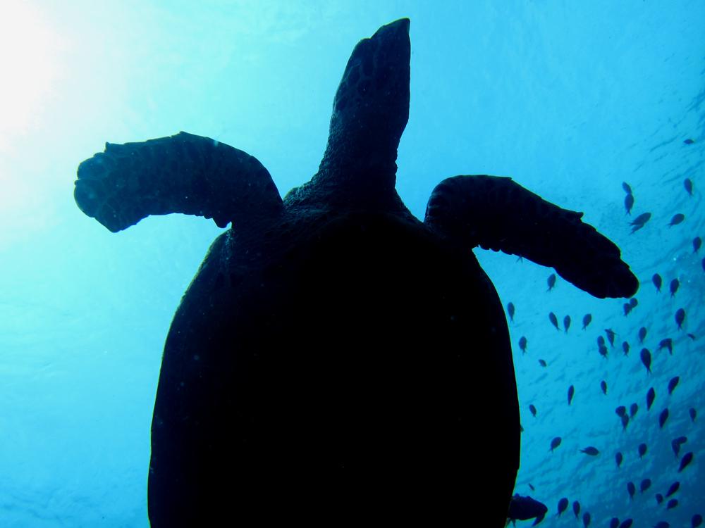 Turlte diving in Komodo Indonesia