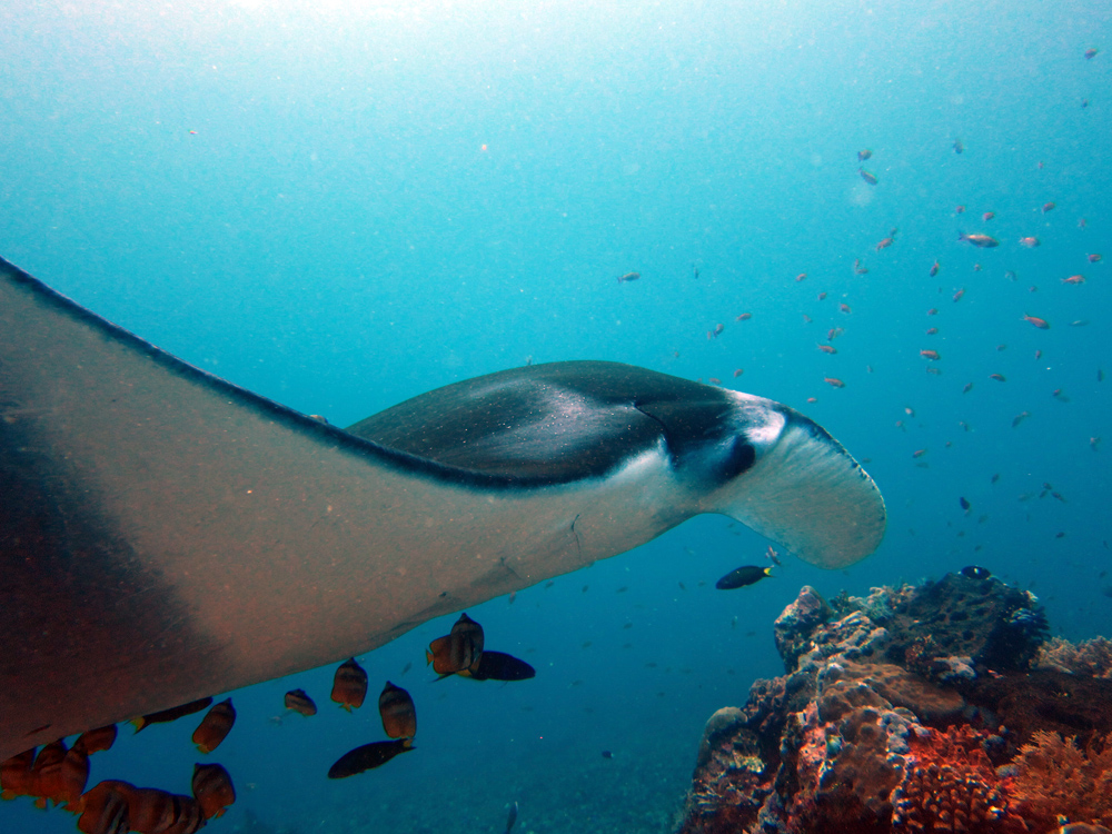 Manta ray diving in Komodo Indonesia
