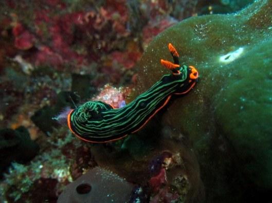 Nudibranche Komodo Indonesia