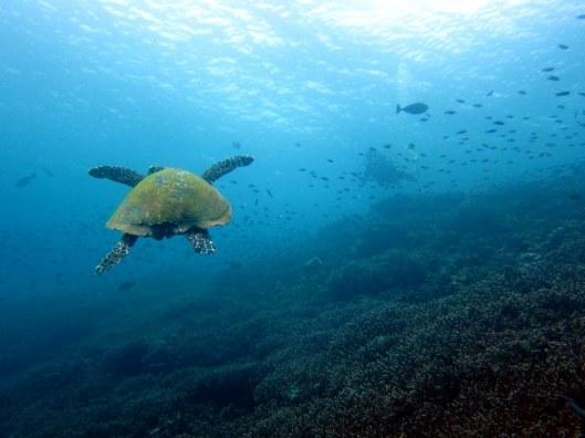 sea turtle Komodo Indonesia