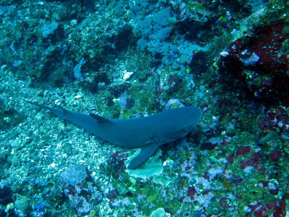 white tip shark  - best dive sites Bali