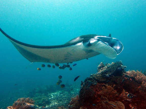 Manta ray Komodo Indonesia