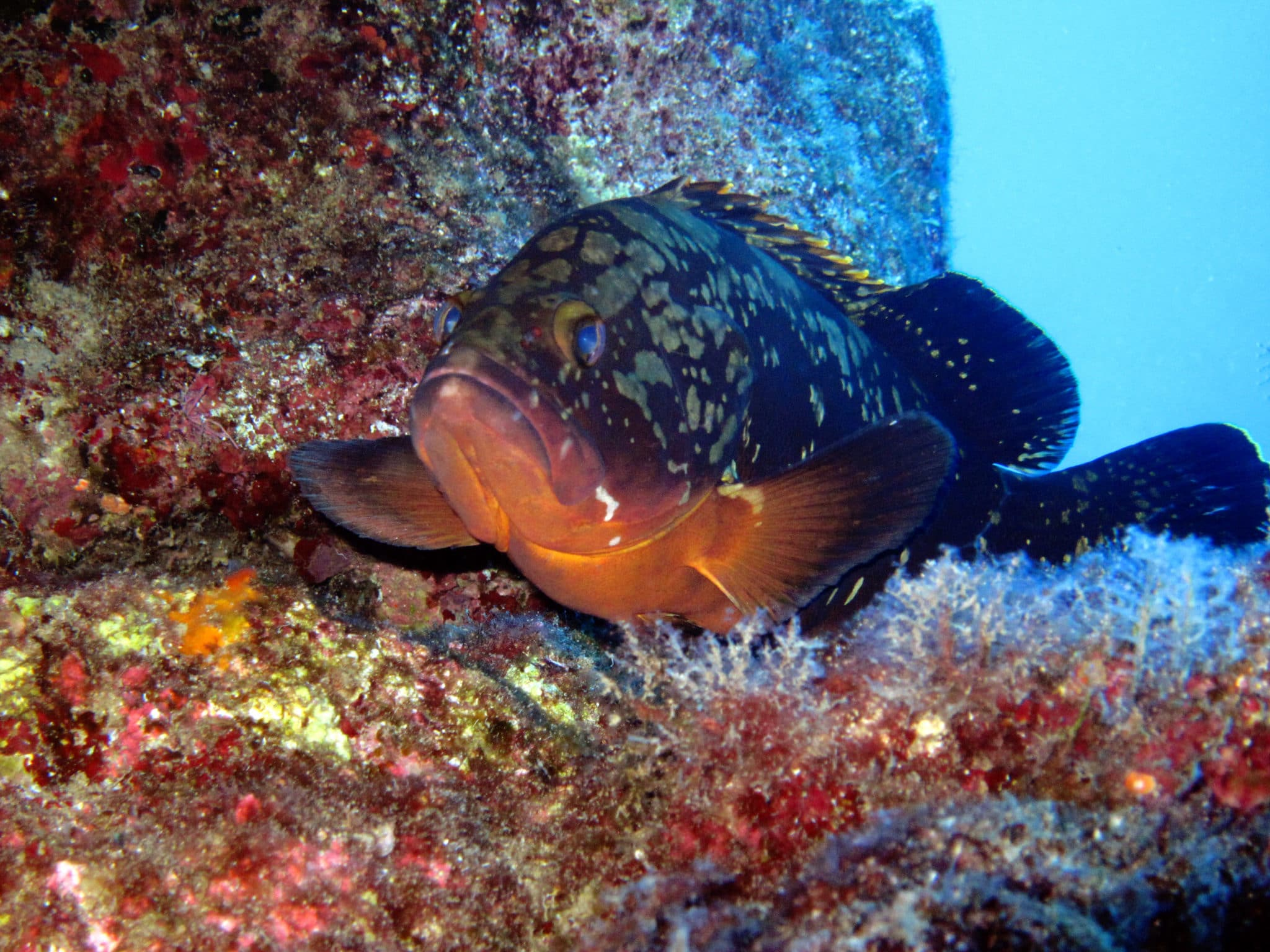 Kas diving - grouper