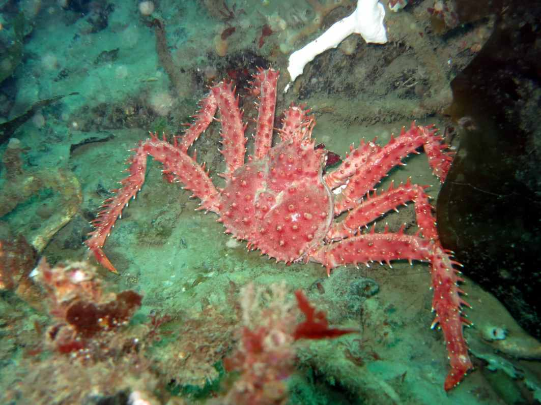 diving ushuaia beagle canal king crab centolla