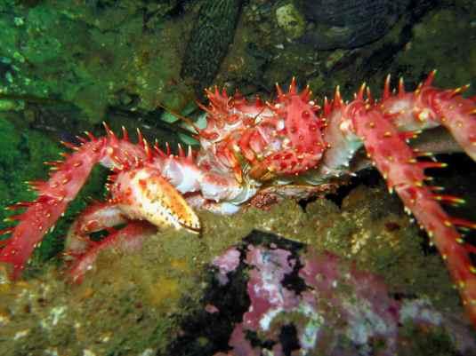 diving ushuaia beagle canal king crab centolla