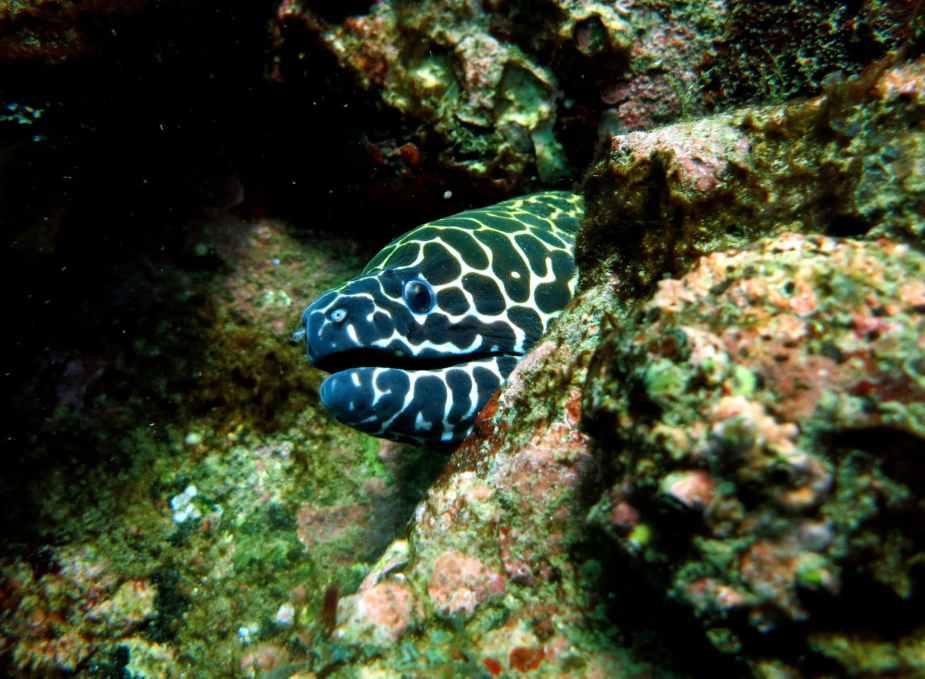 honeycomb moray eel diving netrani india