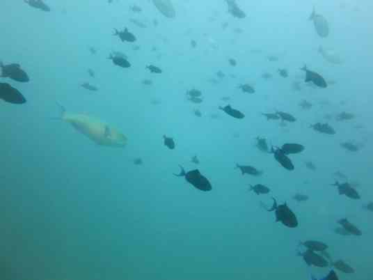 redtoothed tiggerfish diving netrani india