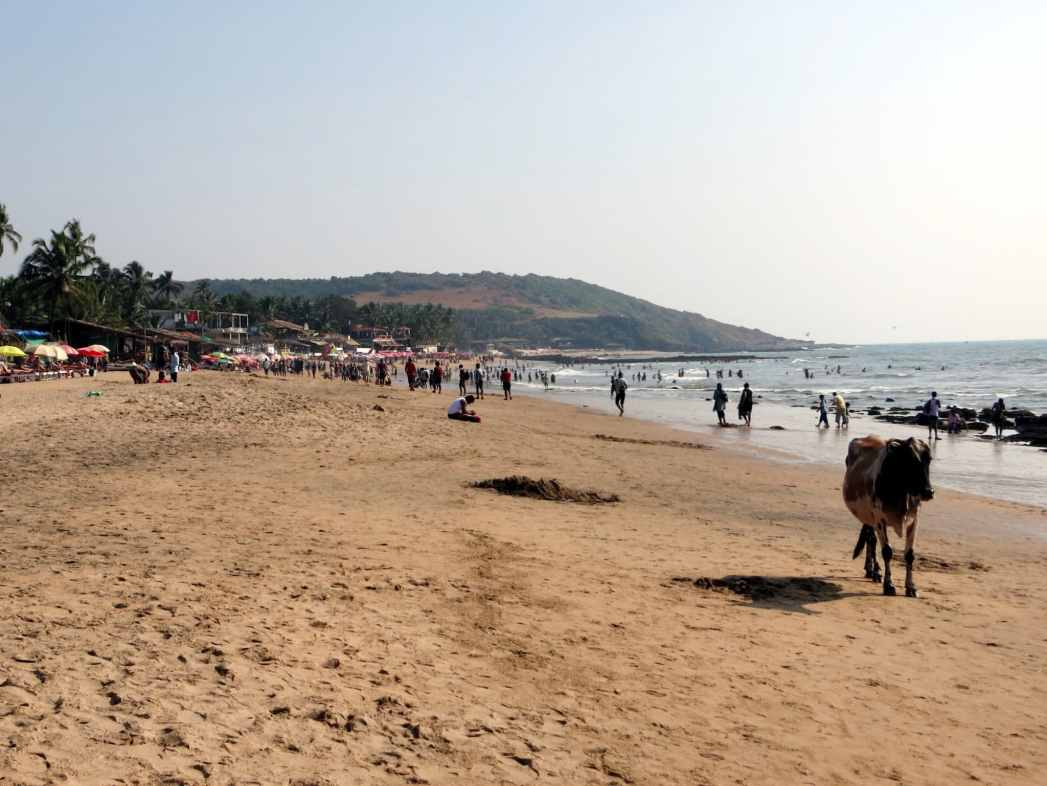 cow on anjuna beach goa