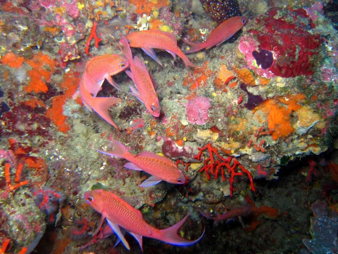 Swallowtail seaperch Cadaques Diving in Costa Brava