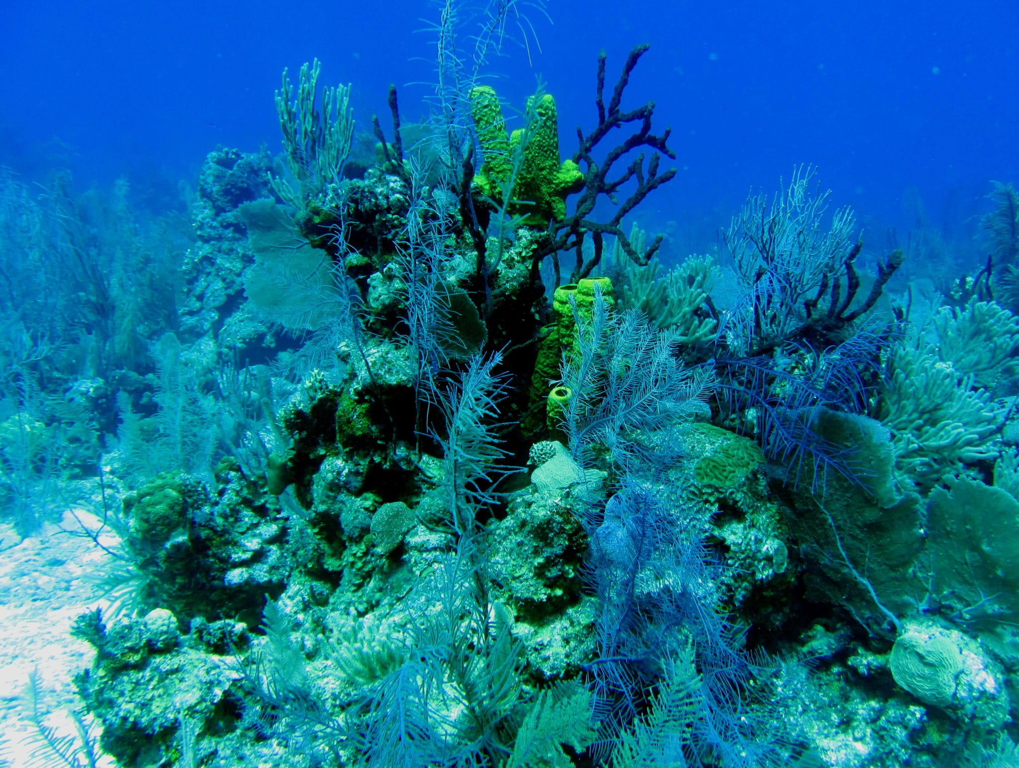 Scuba diving Lighthouse reef Belize Black coral